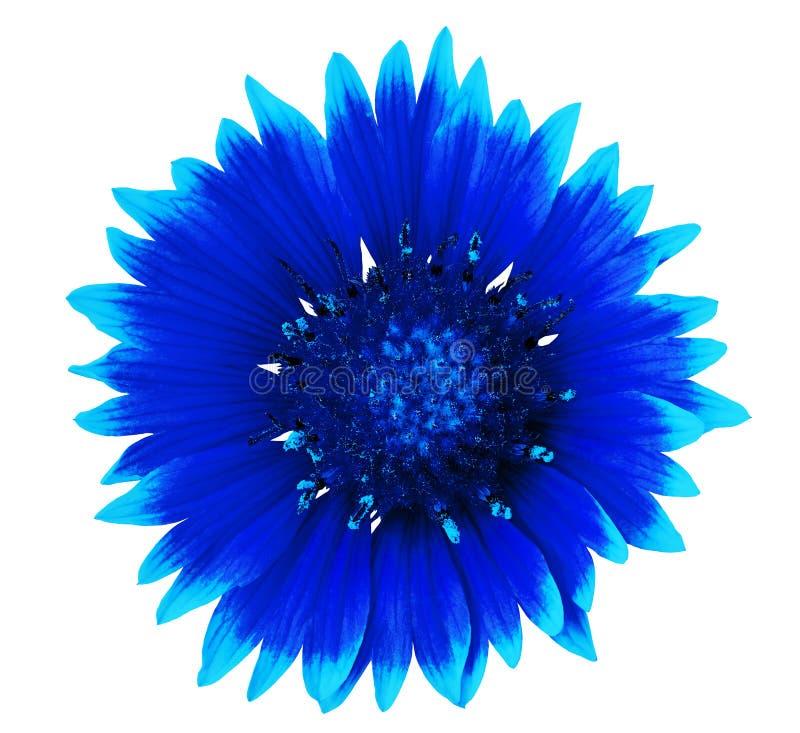 Floresça o gaillardia ciano azul isolado em um fundo branco Close-up foto de stock
