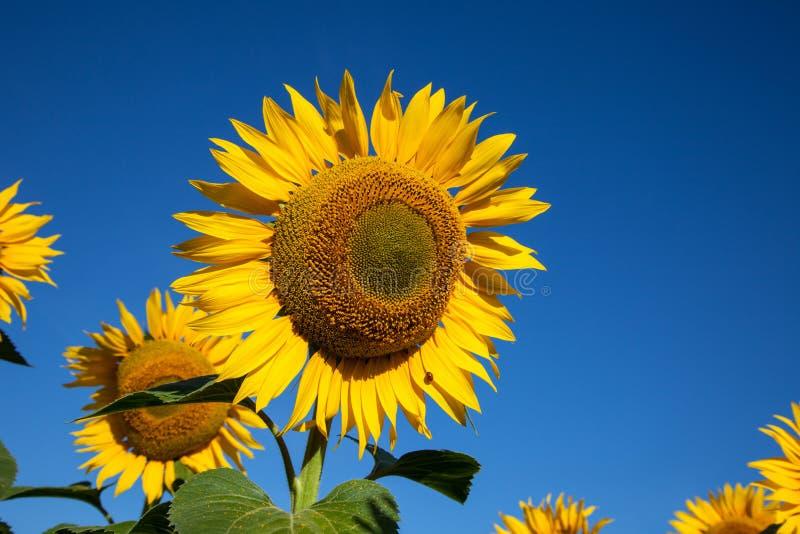 Floresça o girassol no fundo do céu azul imagens de stock royalty free