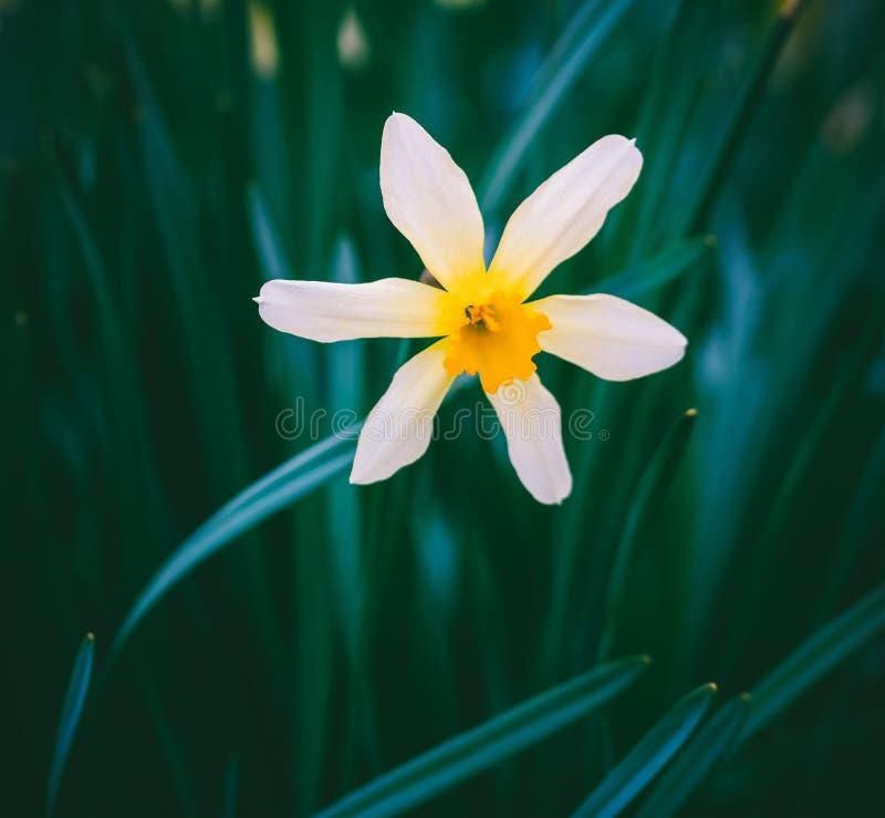 Floresça o narciso amarelo em um fundo das folhas verdes foto de stock royalty free