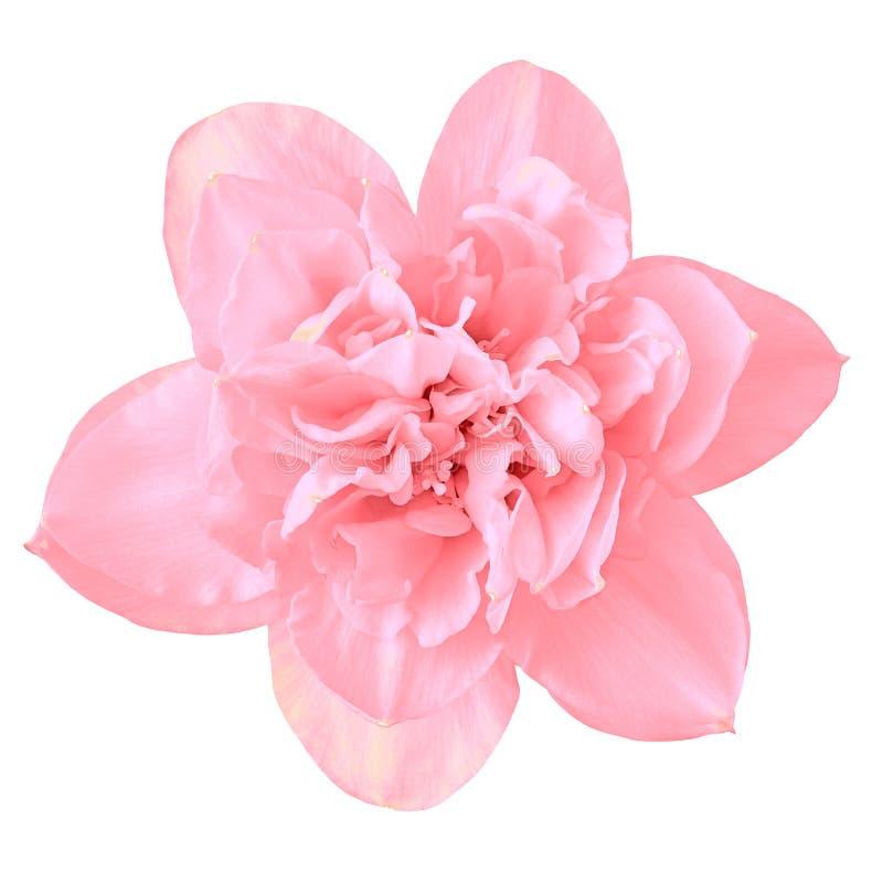 Floresça o narciso cor-de-rosa, isolado em um fundo branco Close-up fotos de stock royalty free