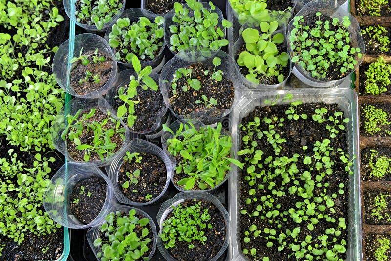 Floresça plântulas do petúnia, do amor perfeito do jardim, do lobelia, do cravo e do balsamine em plantar potenciômetros, vista s imagem de stock