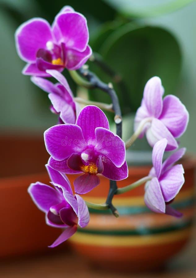 Floresça uma orquídea imagens de stock royalty free