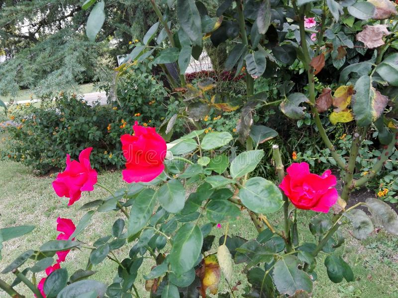 flores royalty-vrije stock afbeeldingen