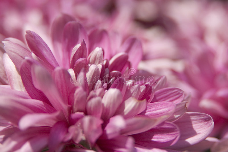Flores 2 da cor-de-rosa fotografia de stock