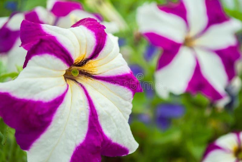 Download Flores foto de archivo. Imagen de cama, perfumado, lavanda - 42438914