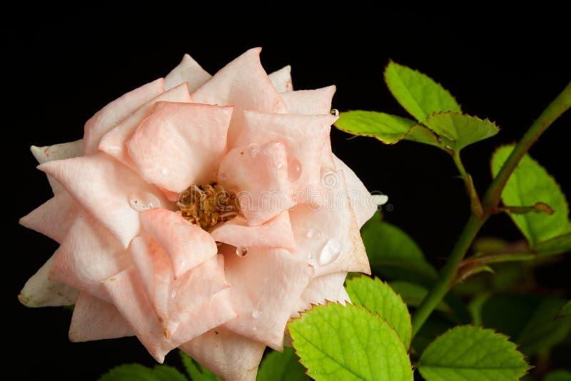 Download Flores imagen de archivo. Imagen de pink, flor, pétalo - 42443153