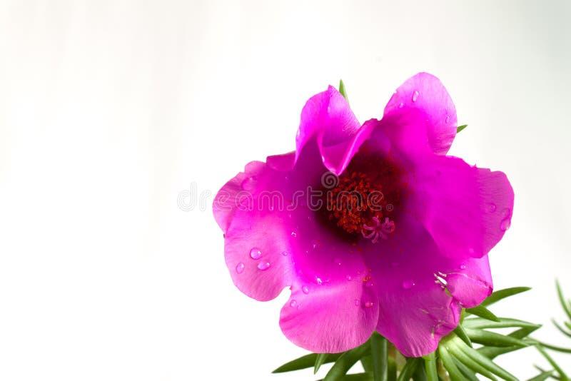 Download Flores imagen de archivo. Imagen de flor, vástago, pétalos - 42443307
