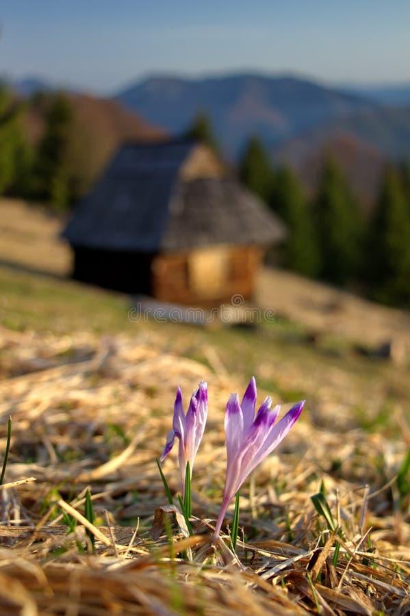 flores Açafrão-roxas e cabana de madeira abandonada velha com as montanhas no fundo, mola adiantada na natureza fotos de stock