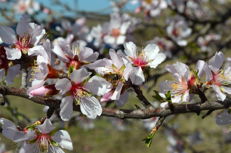 Flores, abejas, insectos y primavera de la almendra imagenes de archivo