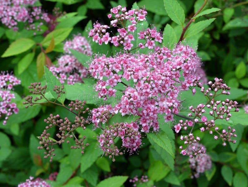 Download Flores Abstractas Del Meadowsweet Del Fondo Foto de archivo - Imagen de estambre, planta: 41921152