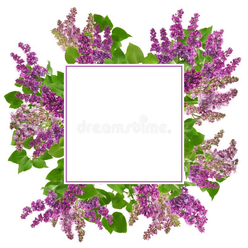Flores adorables del flor de la lila, aisladas en blanco, con el espacio libre para su texto stock de ilustración