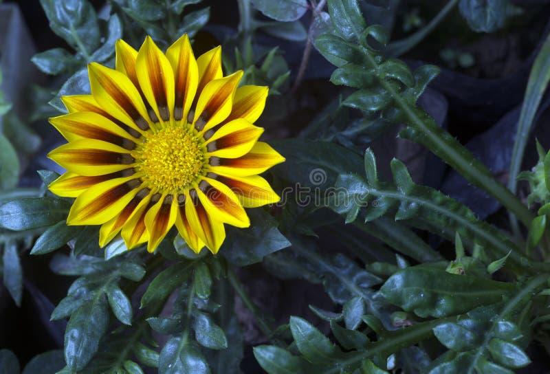 Flores africanas do Gazania imagens de stock