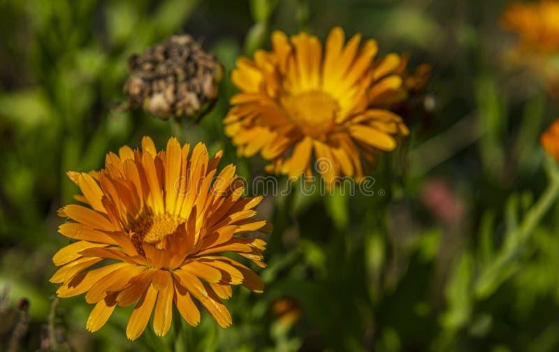 Flores africanas na grama verde com flores alaranjadas imagem de stock