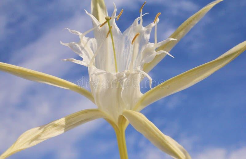 Flores africanas salvajes - lluvia Lilly imagen de archivo