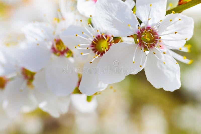 Flores agradáveis da ameixa foto de stock