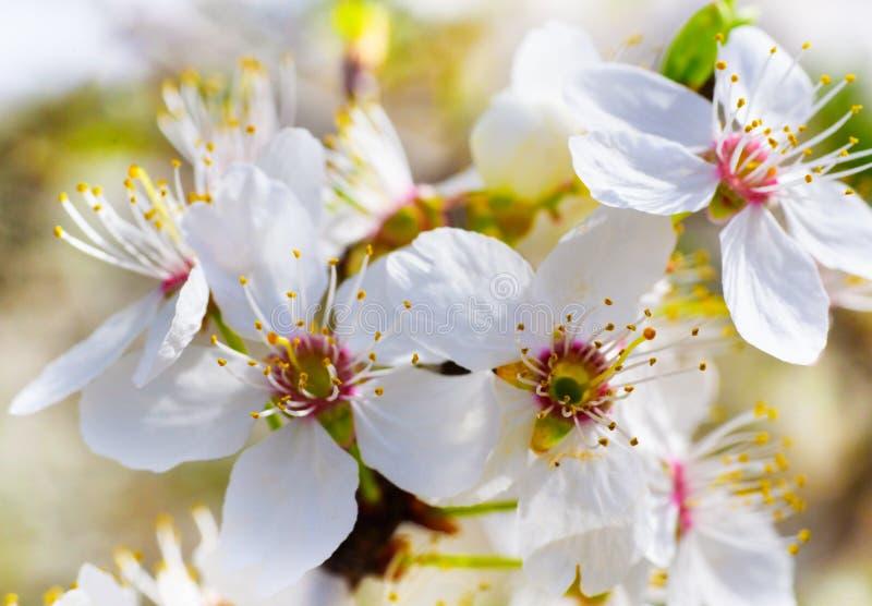 Flores agradáveis da ameixa fotografia de stock