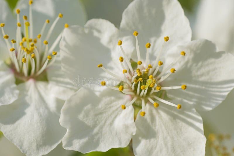 Flores agradáveis da ameixa imagem de stock