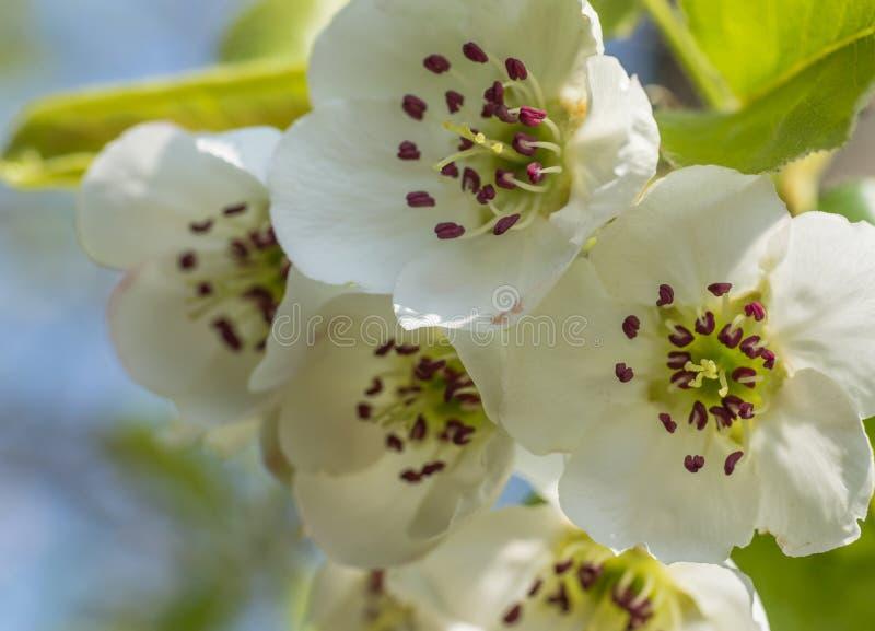 Flores agradáveis da ameixa foto de stock royalty free