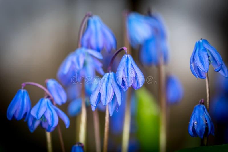 Flores agradables del bifolia del sciila imagenes de archivo