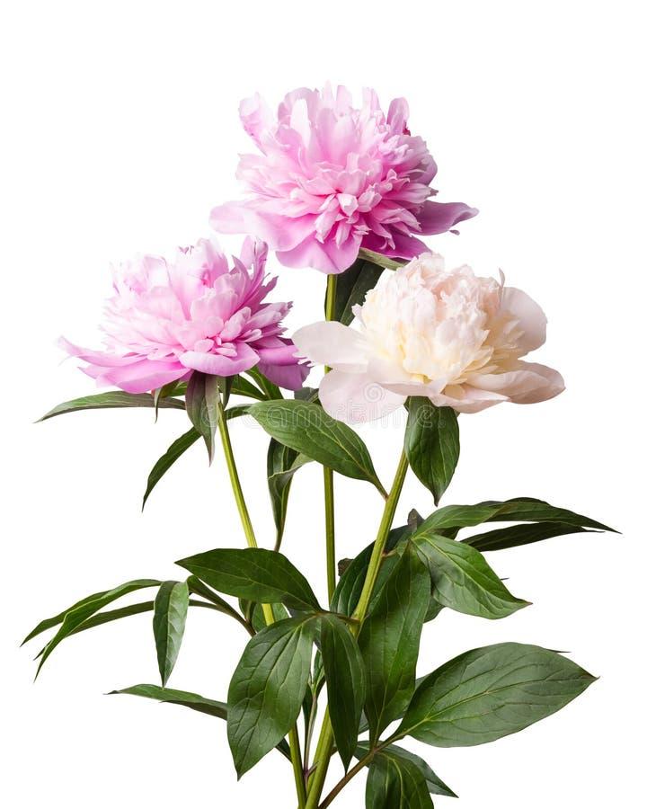 Flores aisladas de la peonía en el fondo blanco fotografía de archivo libre de regalías