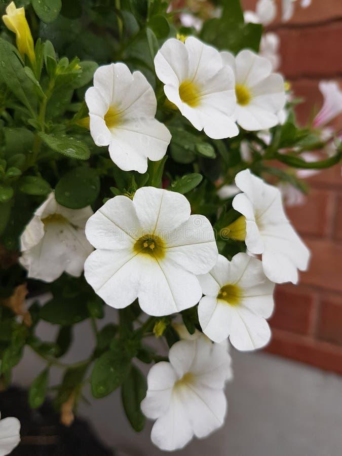 Flores al aire libre del verano del pequeño pétalo blanco imágenes de archivo libres de regalías