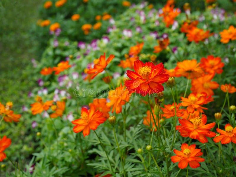Flores alaranjadas bonitas do cosmos foto de stock royalty free