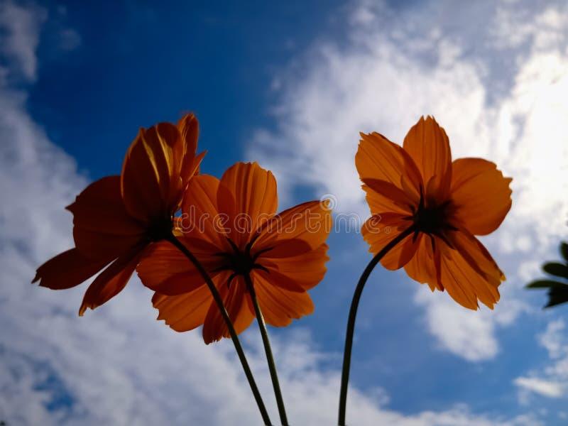 Flores alaranjadas bonitas do cosmos em um fundo branco azulado do céu, fundo da natureza, beleza na natureza, baixo ângulo foto de stock