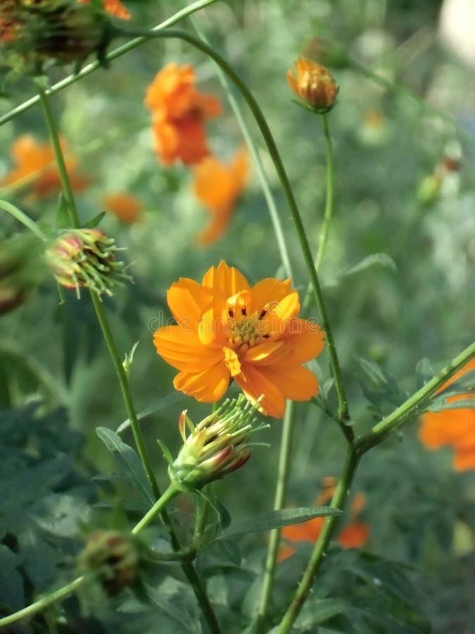 Flores alaranjadas bonitas do cosmos no jardim imagem de stock