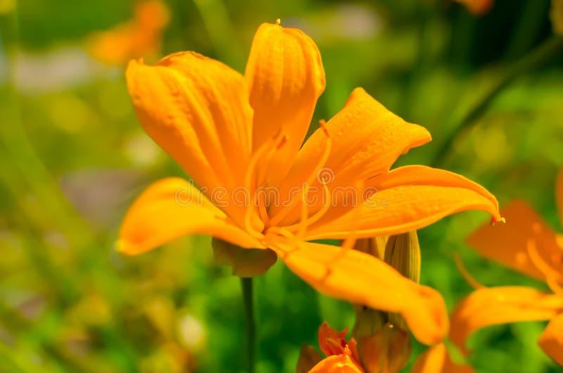 Flores alaranjadas bonitas no jardim do verão, papel de parede do lírio fotos de stock