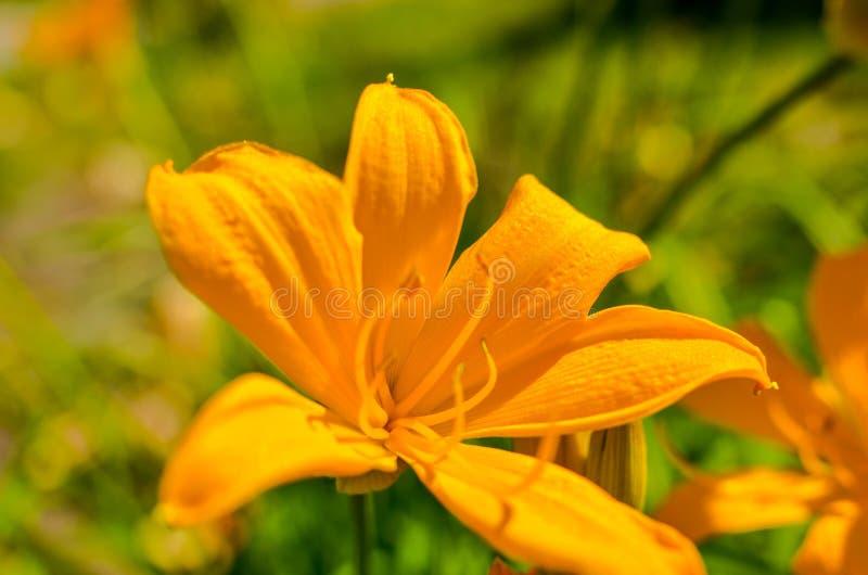 Flores alaranjadas bonitas no jardim do verão, papel de parede do lírio, foto fotografia de stock royalty free