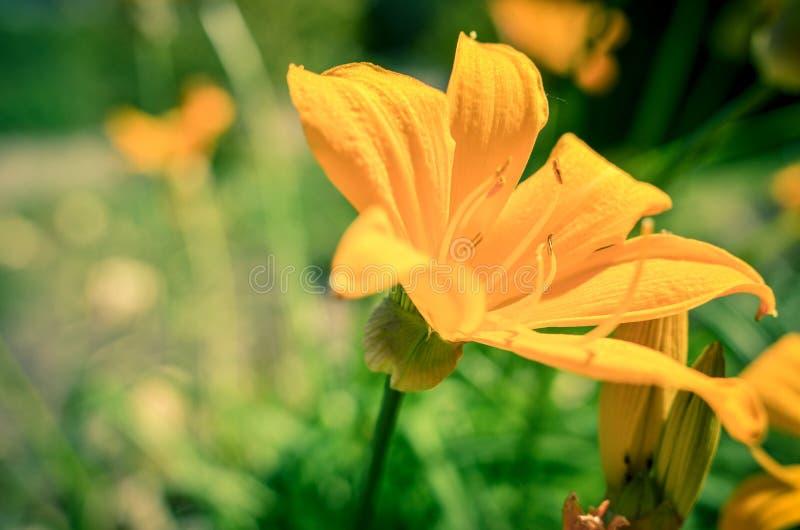 Flores alaranjadas bonitas no jardim do verão, papel de parede do lírio, foto fotografia de stock