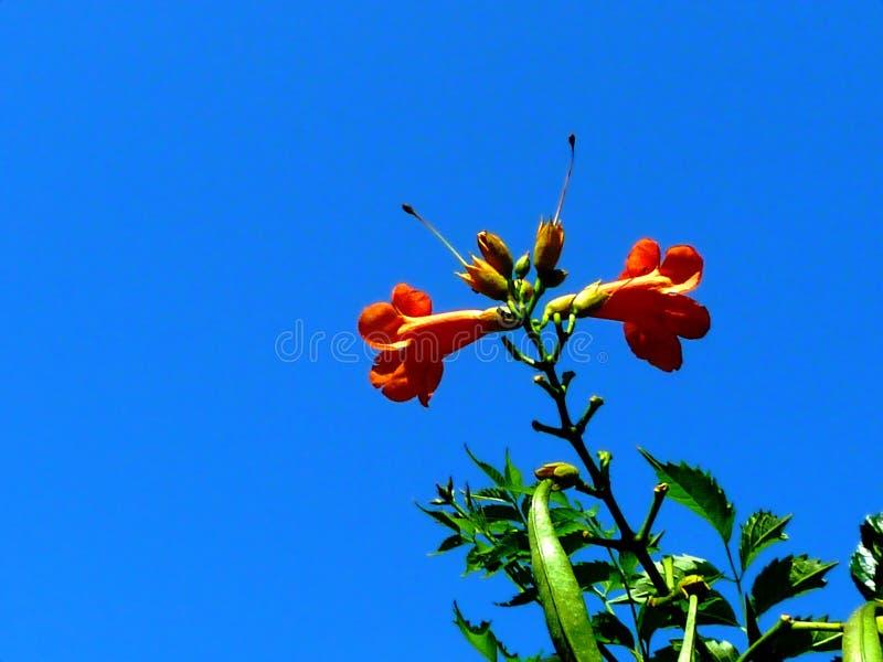 flores alaranjadas brilhantes isoladas da trepadeira de trombeta sob o céu azul claro imagens de stock royalty free