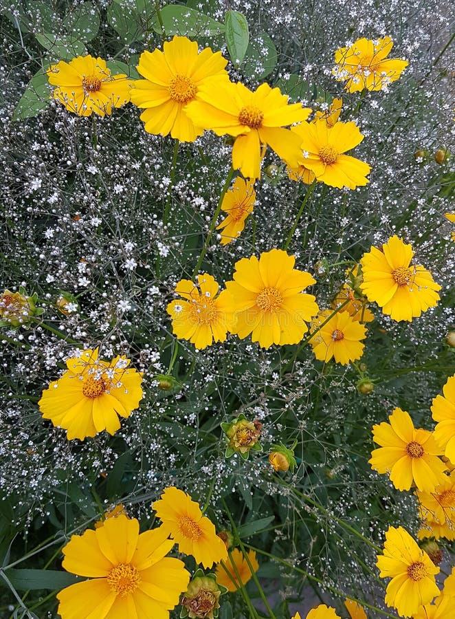 Flores alaranjadas contra um fundo do gypsophila branco imagem de stock