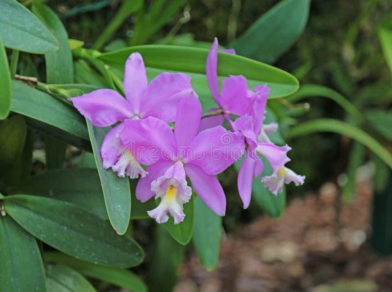 Flores alaranjadas cor-de-rosa das orquídeas do Phalaenopsis fotografia de stock