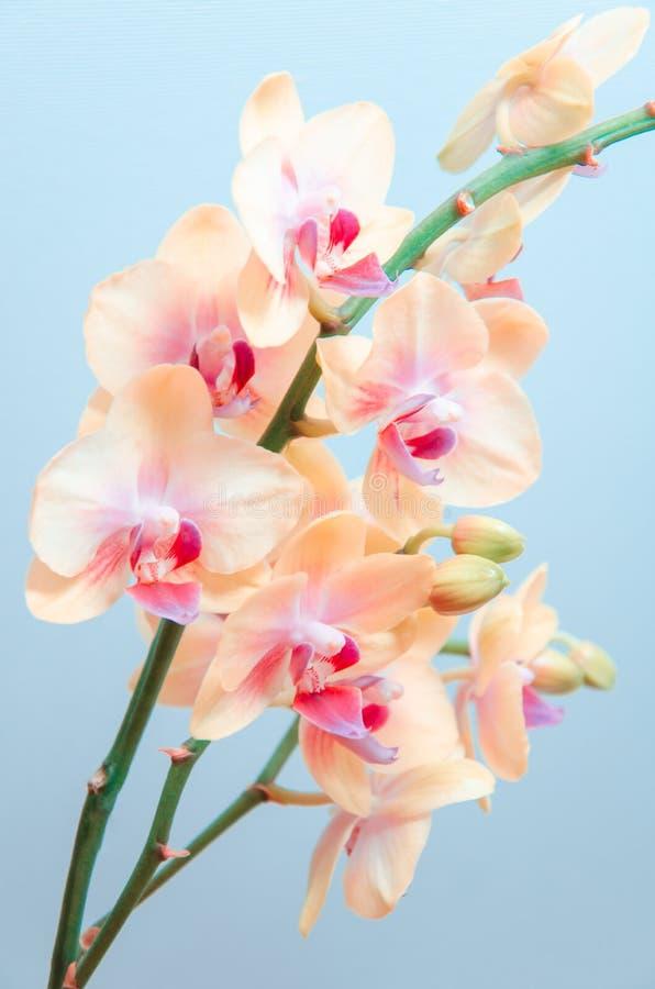 - Flores alaranjadas da orquídea em claro - fundo azul claro imagens de stock