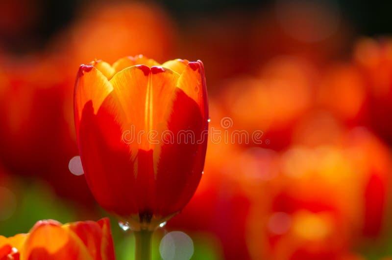 Flores alaranjadas da tulipa com fundo verde da folha em campos da tulipa em dias do inverno ou de mola para a decoração, a belez fotografia de stock