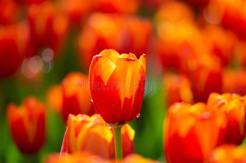 Flores alaranjadas da tulipa com fundo verde da folha em campos da tulipa em dias do inverno ou de mola para a decoração, a belez fotografia de stock royalty free