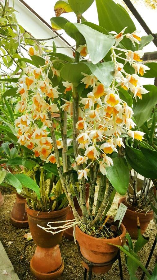 Flores alaranjadas de florescência bonitas da orquídea fotografia de stock