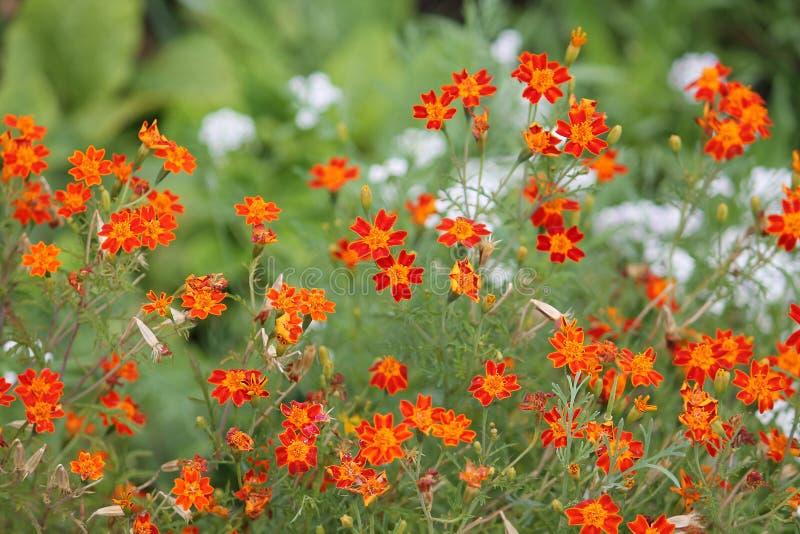 Flores alaranjadas do cravo-de-defunto do sinete no canteiro de flores imagem de stock