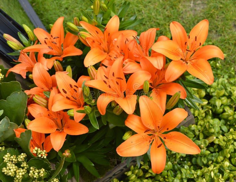 Flores alaranjadas do duende do Lilium foto de stock