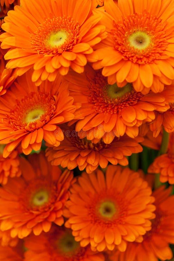 Flores alaranjadas do gerbera fotografia de stock
