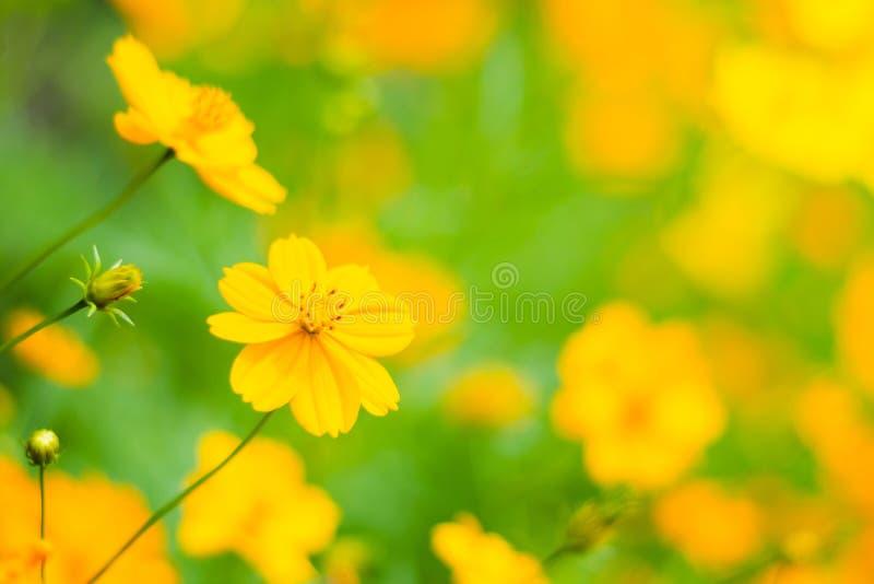 Flores alaranjadas do starburst, flores bonitas do cosmos fotos de stock royalty free