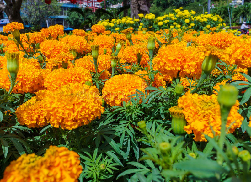 Flores alaranjadas dos cravos-de-defunto fotos de stock