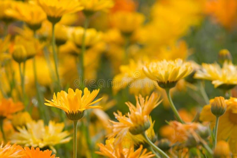 Flores alaranjadas e amarelas imagem de stock royalty free