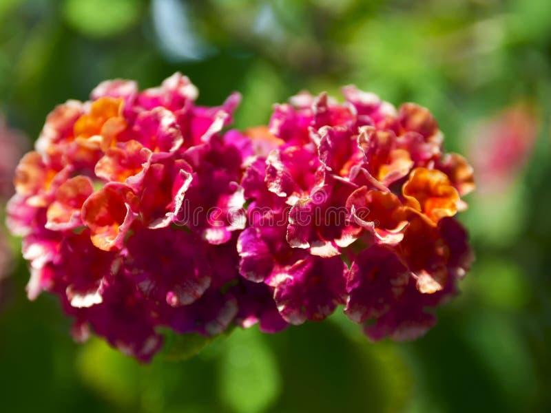 Flores alaranjadas e cor-de-rosa bonitas do camara do Lantana no jardim tropical de Tenerife, Ilhas Canárias, Espanha fotos de stock royalty free
