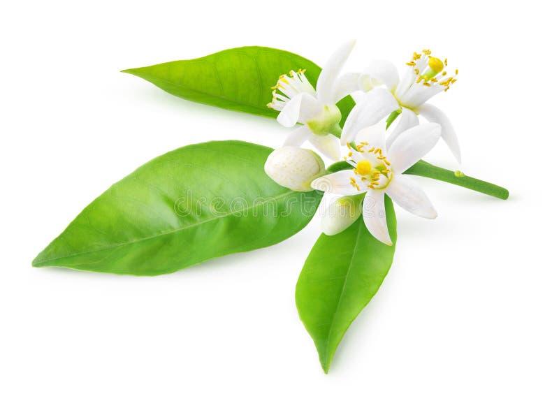 Flores alaranjadas em um ramo imagem de stock royalty free