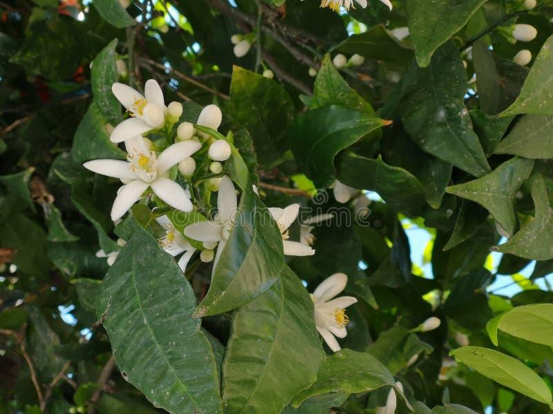 Flores alaranjadas em uma árvore fotografia de stock royalty free