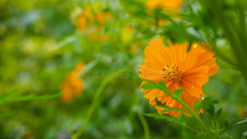 Flores alaranjadas na estação das chuvas fotografia de stock