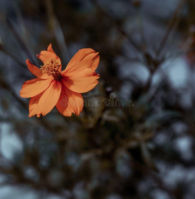 Flores alaranjadas fotos de stock royalty free