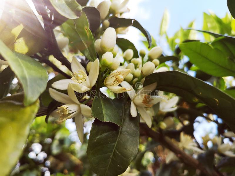 Flores alaranjadas perfumadas do citrino na mola fotografia de stock